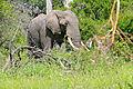 African Elephant (Loxodonta africana) (16296244830).jpg