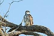 African Hawk-eagle 2406377144.jpg
