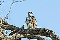 African Hawk-eagle 2406377144