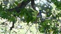 File:African Paradise Flycatcher (Terpsiphone viridis) male.webm