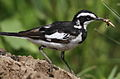 African Pied Wagtail, Motacilla aguimp - incoming with grasshopper - in Kruger National Park (13850260205).jpg