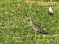 African Wattled Lapwings (Vanellus senegallus) (17611819884).jpg