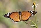African monarch - Danaus chrysippus.jpg