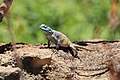 Agama in Blyde River Canyon 03.jpg