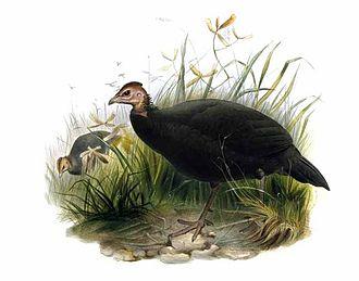 Black guineafowl - Image: Agelastes niger