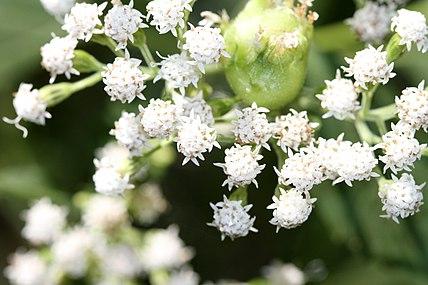 Ageratina altissima SCA-5919.jpg