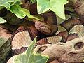 Agkistrodon contortrix-AL.jpg
