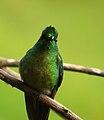 Aglaiocercus kingi (Silfo coliverde) - Flickr - Alejandro Bayer (4).jpg