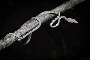 Ahaetulla prasina - Image: Ahaetulla prasina Asian vine snake (white morph)
