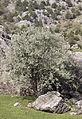 Ahlat - Pyrus elaeagrifolia 02.jpg