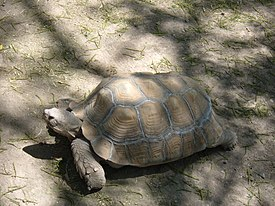 Alameda Park Zoo Buford the African Spurred Tortoise.JPG