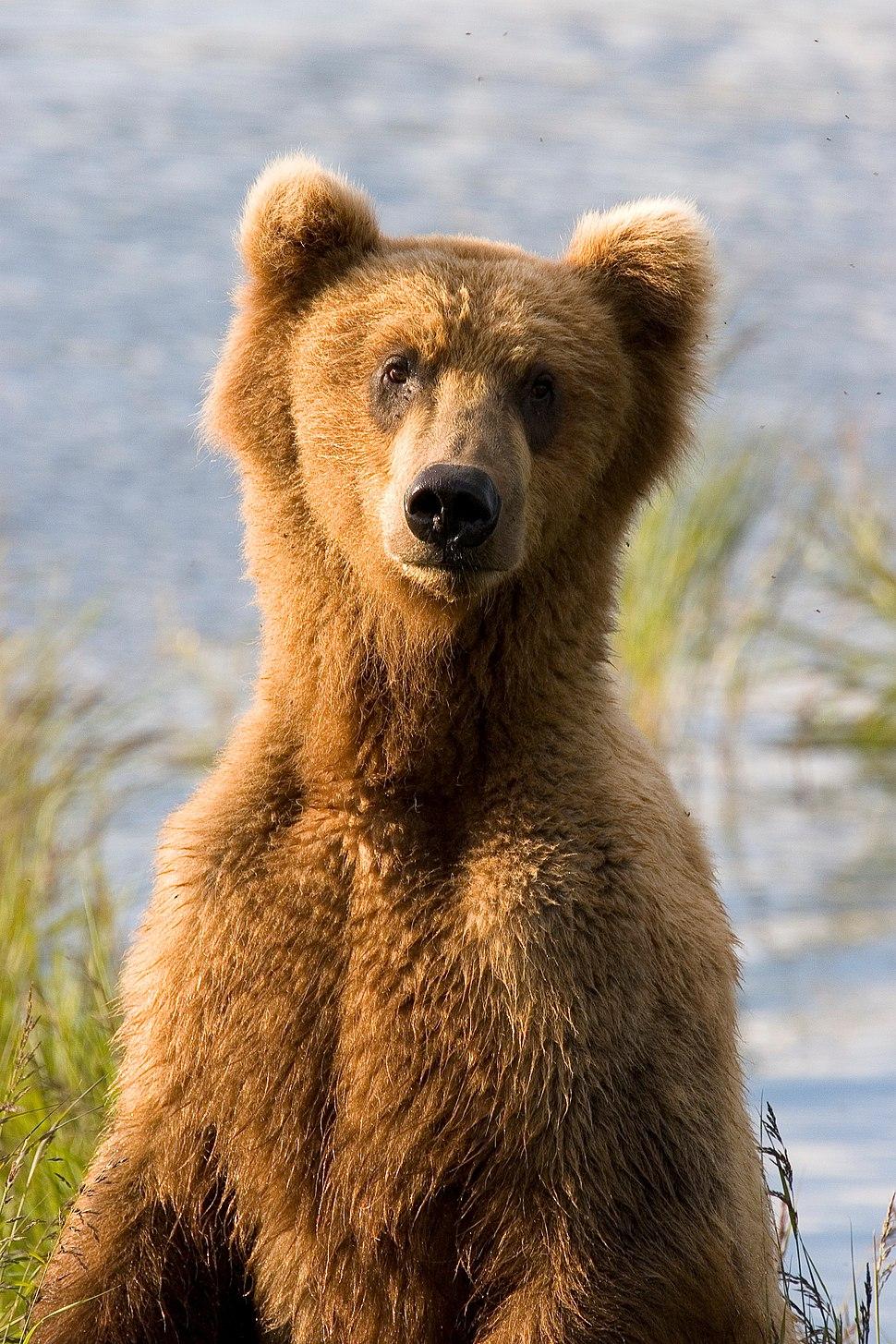 AlaskanBear closeup