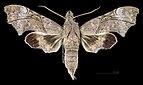 Aleuron neglectum MHNT CUT 2010 0 144 El Dorado, Venezuela female dorsal.jpg