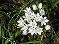 Allium neapolitanum03.jpg