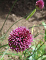 Allium sphaerocephalon Y004.jpg