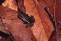 Allobates femoralis04.jpg