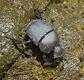 Allogymnopleurus thalassinus 000852-1.jpg