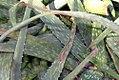 Aloe sinkatana 0zz.jpg