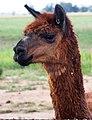 Alpaca in a field-03+ (2148522440).jpg