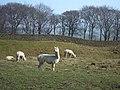 Alpacas in a field - geograph.org.uk - 379131.jpg