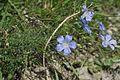 Alpen-Lein (Linum alpinum).jpg