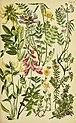 Alpenflora; die verbreitetsten Alpenpflanzen von Bayern, Österreich und der Schweiz (1922) (17921523038).jpg