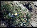 Alpenflora am Gornergrat 01.JPG