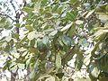 Alseodaphne semicarpifolia (8502233023).jpg