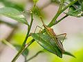 Alydidae sp?, Taman Sari, Yogyakarta, 2014-05-07 02.jpg