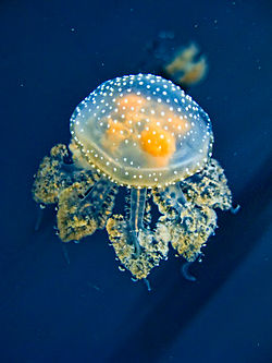 meaning of jellyfish