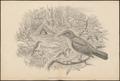 Amblyornis inornata - 1700-1880 - Print - Iconographia Zoologica - Special Collections University of Amsterdam - UBA01 IZ16400229.tif