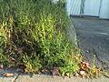 Ambrosia artemisiifolia Herbe à poux Ambroisie.JPG