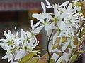 Amelanchier grandiflora0.jpg