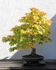 American Beech bonsai 272, October 10, 2008.jpg