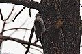 American Three-toed Woodpecker (female) Signal Burn Gila NF NM 2017-10-18 09-09-04 (38192296875).jpg
