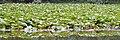 American White Waterlily (Nymphaea odorata) - Kitchener, Ontario 02.jpg