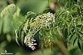 American elderberry (Sambucus canadensis) (37484276942).jpg