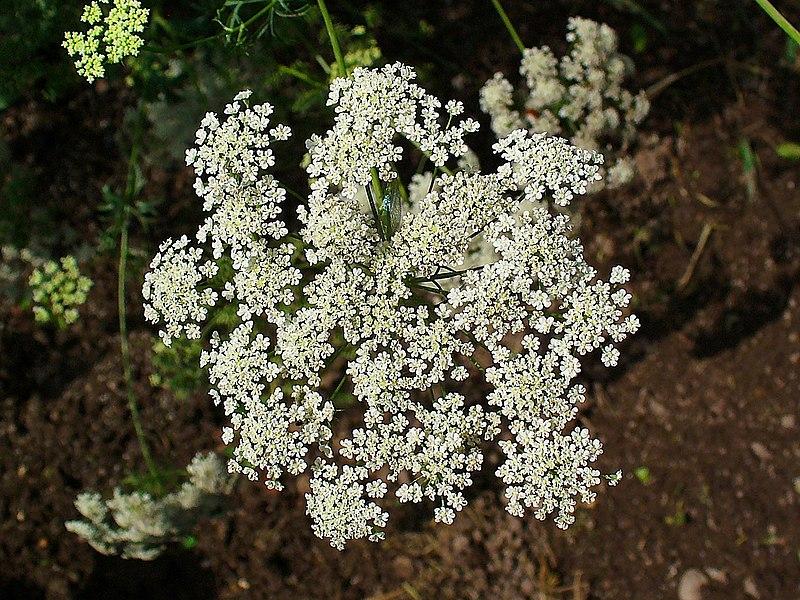 fleurs de ammi élevé ou officinal