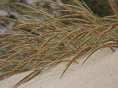 Ammophila arenaria Baleal.jpg