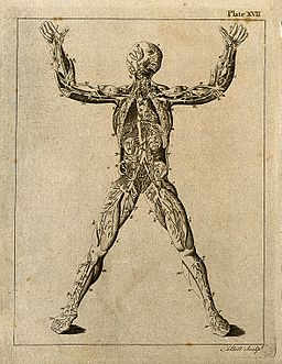 An écorché figure showing the cardio-vascular system. Line e Wellcome V0008027EL