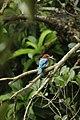An Indian King-fisher bird.jpg