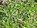 An abundance of mauve and white violets - geograph.org.uk - 1012278.jpg
