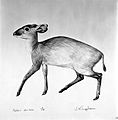 An antelope (Peter's duiker). Lithograph by Jonathan Kingdon Wellcome L0024955.jpg