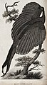 An argus pheasant sitting on a branch of a tree. Etching by Wellcome V0020729.jpg