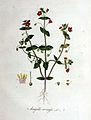 Anagallis arvensis — Flora Batava — Volume v1.jpg