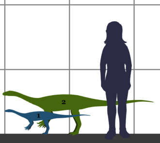 Anchisaurus - Size of Anchisaurus, compared to a human.