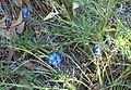 Anchusa capensis kz2.jpg
