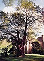 Ancient Yew, Church Preen - geograph.org.uk - 82511.jpg
