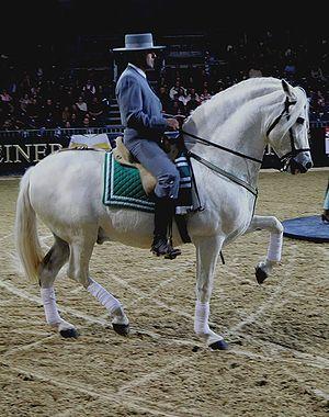 Ein Hauspferd (Equus caballus) - hier ein andalusischer Hengst mit Reiter