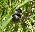 Andrena cineraria female - Flickr - gailhampshire.jpg